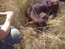 Nyfödd kalv - 2 gamla dagar Fotografering för Bildbyråer