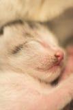 Nyfödd kattsömn Royaltyfria Foton
