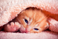 nyfödd kattunge Fotografering för Bildbyråer