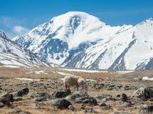 nyfödd lamb Arkivbilder