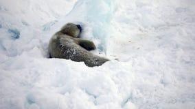 Nyfödd skyddsremsavalp i is och insnöat sökande av mamman lager videofilmer