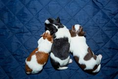 Nyfödd valp för hundChihuahua Arkivbilder