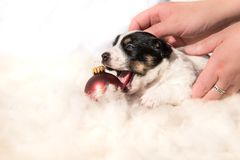 Nyfödd valphund för gullig jul med bollen arkivfoto