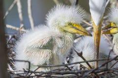 Nyfödd vit ägretthägerCloseup arkivbild