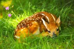 Nyfödda Bambi Arkivfoton