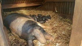 Nyfödda brittiska saddlebackspädgrisar med deras mamma royaltyfria bilder