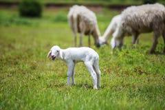 Nyfödda får på gräs Royaltyfri Bild