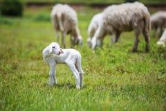 Nyfödda får på gräs Arkivfoton