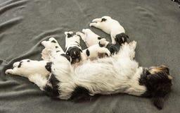 Nyfödda hundvalpar - 14 gamla dagar - att dricka för Jack Russell Terrier vovvar mjölkar på hennes moder arkivfoton