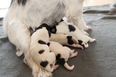 Nyfödda hundvalpar - 2 gamla dagar - att dricka för Jack Russell Terrier vovvar mjölkar på hennes moder royaltyfria bilder