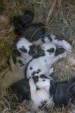 nyfödda kaniner arkivfoto