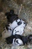 nyfödda kaniner arkivbild