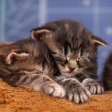 nyfödda kattungar Royaltyfria Bilder
