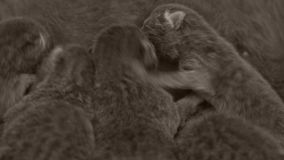 Nyfödda kattungar som slåss för mamma` s, mjölkar lager videofilmer