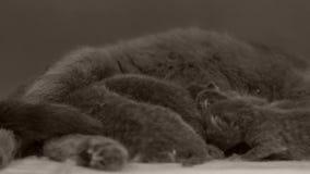 Nyfödda kattungar som slåss för mamma` s, mjölkar stock video