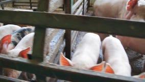 Nyfödda nyfikna svin i en lantgård arkivfilmer