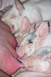 nyfödda piglets Royaltyfria Foton