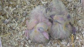 Nyfödda post- duvor stock video