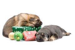 nyfödda puppys Royaltyfria Foton