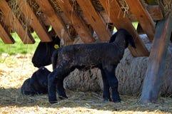 Nyfödda små lamm med modern royaltyfria bilder