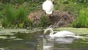 Nyfödda svanar på deras rede stock video