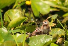 Nyfödda svarta tärnafågelungar som sitter på Lily Pads Arkivfoto