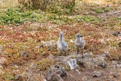 Nyfödda västra fiskmåsfågelungar Fotografering för Bildbyråer