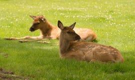 Nyfött älgFawn Calf Yearling Wild Animal djurliv Royaltyfri Foto