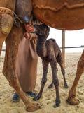 Nyfött behandla som ett barn kamlet Royaltyfria Bilder