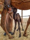 Nyfött behandla som ett barn kamlet Royaltyfri Bild
