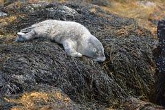 Nyfött behandla som ett barn skyddsremsan sovande på havsväxt i den Casco fjärden Maine Royaltyfri Foto
