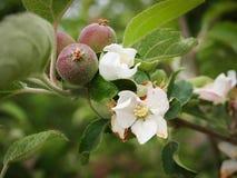 Nyfött berg för Apple blomninglastbilschaufför Arkivfoto
