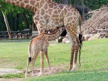 Nyfött eller behandla som ett barn giraffet som drinkar mjölkar i slut upp i en zooshowförälskelse och moderskap Arkivbilder