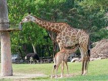 Nyfött eller behandla som ett barn giraffet som drinkar mjölkar, medan mamman äter gräs i en zooshowförälskelse och moderskap Arkivfoton