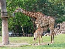 Nyfött eller behandla som ett barn giraffet som drinkar mjölkar, medan mamman äter gräs i en zooshowförälskelse och moderskap Royaltyfri Foto
