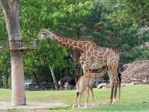 Nyfött eller behandla som ett barn giraffet som drinkar mjölkar, medan mamman äter gräs i en zooshowförälskelse och moderskap Royaltyfria Foton