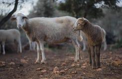 Nyfött lamm och flock i vinter Arkivbild