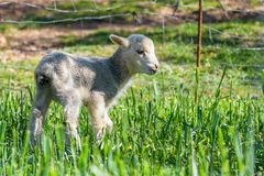 Nyfött lamm som äter nytt gräs i ängen Vår och solig dag arkivfoton