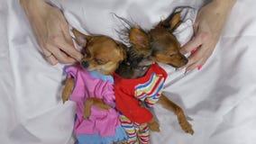 Nyfött sova för valp Vuxen hundkapplöpning i glidare stock video