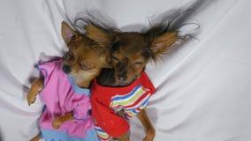 Nyfött sova för valp Vuxen hundkapplöpning i glidare lager videofilmer