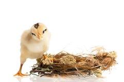 nyfödd fågelunge Arkivbild