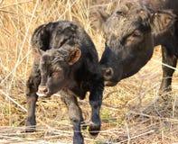 Nyfödd kalv Arkivfoto