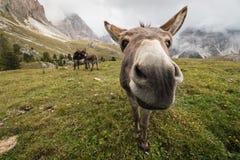 Nyfiken åsna i Dolomites Arkivfoton