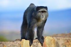 Nyfiken apa i den Ngorongoro krater av Tanzania royaltyfri bild