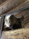Nyfiken arabisk häst fotografering för bildbyråer