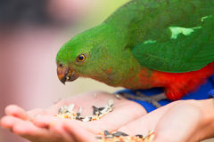 Nyfiken australisk Konung-papegoja (Alisterus scapularis) Royaltyfria Foton