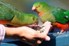 Nyfiken australisk Konung-papegoja (Alisterus scapularis) Arkivbild