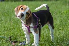 Nyfiken beaglevalp som för första gången sniffar gräset arkivbild