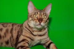 Nyfiken bengali katt med stora gula ögon Arkivfoto