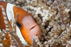nyfiken clownfish arkivfoto